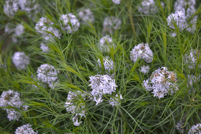Amsonia hubrichtii (thread-leaf bluestar) in the Visitor's Center Rain Gardens. Photo by Morrigan McCarthy.