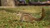 Sri-Lankan squirrel