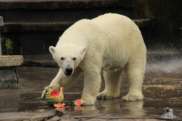 Eisbär Fiete im Zoo Rostock 11.07.2015  0149