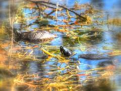 2017-02-12_P2120059_paintmine,lum1.9,mish,colorsat63,sat highlights4.0,gamma1.07_ Florida Red-bellied Turtle