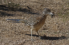 Roadrunner With A Snack