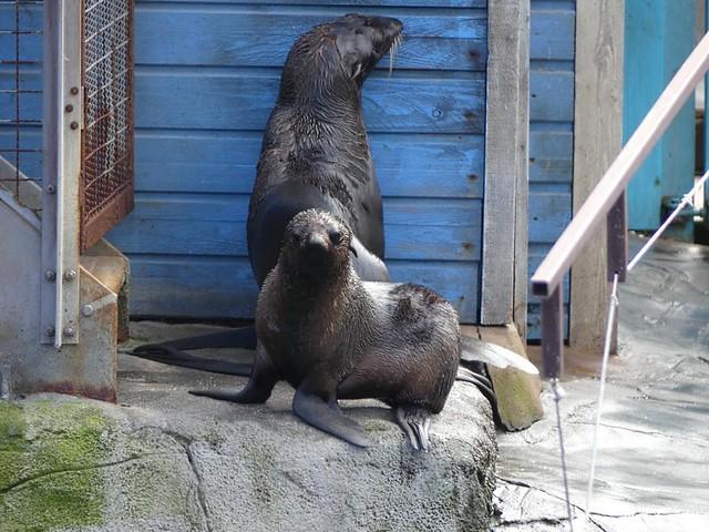 Seebären, Zoo Hannover