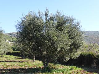 Les oliviers en plein floraison à Ghar El Melh