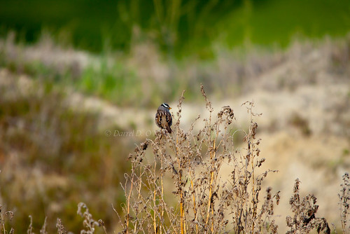 brown white canada black green nature birds grey weeds bc okanagan wildlife gray seeds grasses sparrows whitecrowned