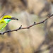 Green Bee Eater (with a catch)