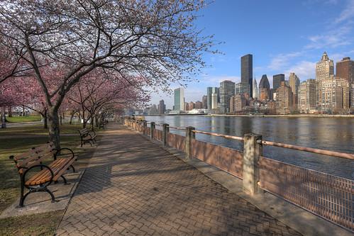 Sakura on Roosevelt Island