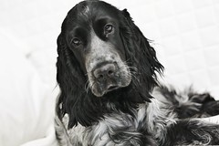 dog breed, animal, dog, field spaniel, setter, russian spaniel, english cocker spaniel, picardy spaniel, blue picardy spaniel, spaniel, german spaniel, english springer spaniel, american cocker spaniel, carnivoran, black-and-white, black,