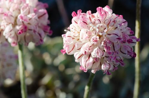 unitedstates nevada polygonaceae eriogonumovalifolium whitepinerange