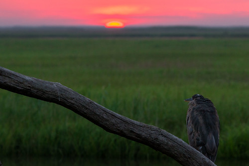 morning sunset heron grass sunrise nikon sigma delaware greatblueheron bombayhooknwr outdoorsdelmarva