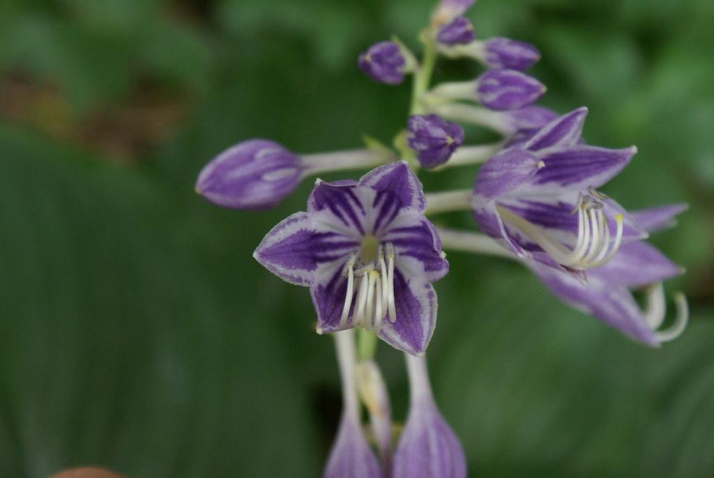 Hosta 'ventricosa Aureomaculata' (09)-2