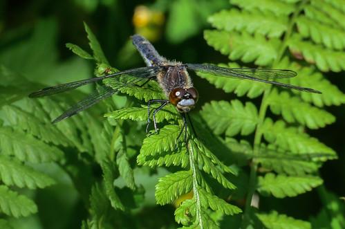 <p><i>Leucorrhinia intacta</i>, Libellulidae<br /> Grant Narrows, Pitt Meadows, British Columbia, Canada<br /> Nikon D5100, 70-300 mm f/4.5-5.6<br /> June 30, 2013</p>