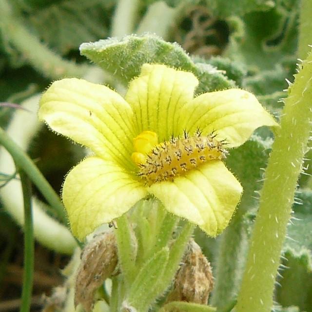 """détail de la  """"chenille""""  sur fleur d'Ecballium elaterium"""
