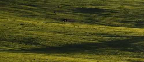 shadow cow tasmania