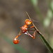 Small photo of Ammophila sp. trying to sleep