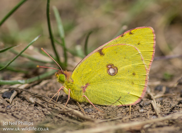 clouded yellow butterfly-2