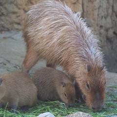 animal, rodent, fauna, capybara, whiskers,