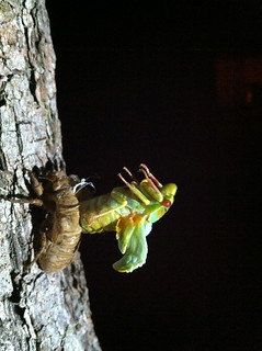 Cicada emerging from its nymphal skin