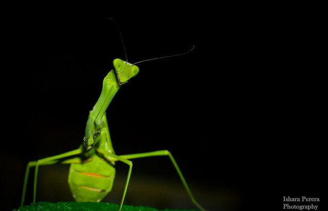 The Green  Praying Mantis (වන්දා )
