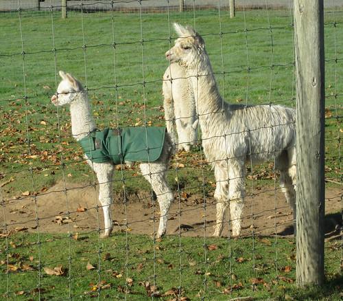 Cría (baby alpaca)