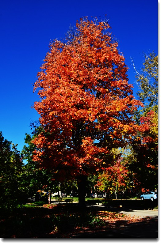 Maple in Fall, Mapleton Hill, Boulder (43)