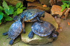 animal, turtle, box turtle, reptile, marine biology, fauna, common snapping turtle, emydidae, wildlife, tortoise,