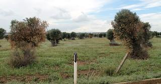 ulivi secchi killer parco dei trulli polignano