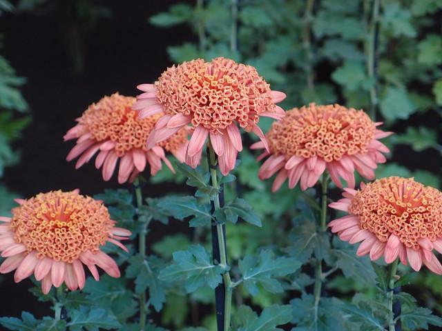 Chrysanthemum @ Shinjuku Gyoen National Garden