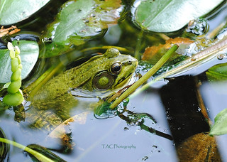 211b 4 - Green Frog at Dow -  tight crop - WM