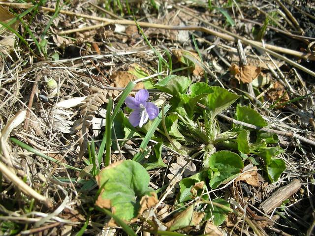 日当りがよい場所のためか,ひとつだけ咲いていたニオイタチツボスミレ.