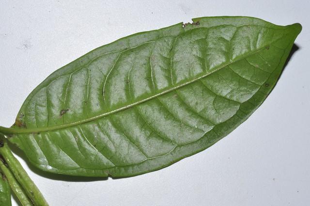 Syzygium alatoramulum__DSC3388