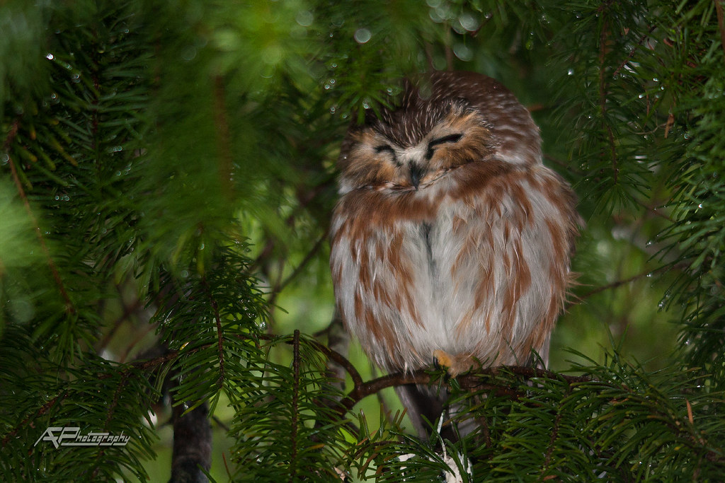 Northern Saw-Whet Owl in Douglas Fir