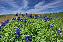 Brenham Texas Wildflowers