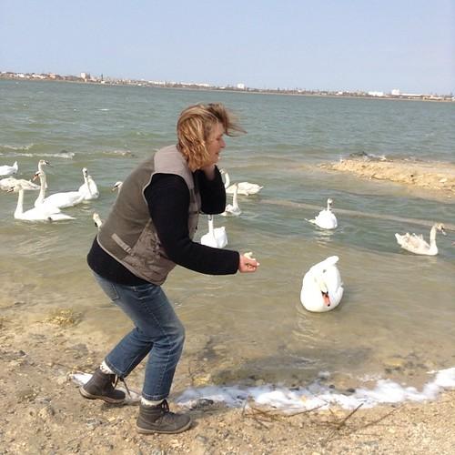 Этот крупный лебедь меня только что ущипнул!!! Он страшно шипел и вырвал хлеб у меня из рук!))) #крым