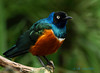 African Superb Starling 1 - Vancouver, British Columbia