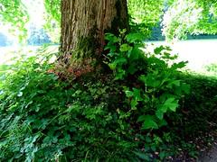 22. Juni 2015 - 8:21 -  Der Tulpenbaum (Liriodendron tulipifera) ist eine in Nordamerika heimische Baumart der aus nur zwei Arten bestehenden Gattung Tulpenbäume aus der Familie der Magnoliengewächse (Magnoliaceae).Die Tulpenbaumallee in Memmingen Ferthofen in Oberschwaben ist ein Naturdenkmal. Der alte Teil der Baumallee wurde von Stadtkanzleidirektor und Herr über Schloss Illerfeld, Friedrich von Lupin, im Jahre 1828  gepflanzt.  Nachfahre, Freiherr Reinhold von Lupin, pflanzte 1980 – 1983 dreißig weitere Tulpenbäume.  Ein reizvoller Kontrast zwischen den neu gepflanzten und den knorrigen altenTulpenbäumen.Oberschwaben, das ist Natur pur in einer herrlichen Landschaft. Als Oberschwaben wird die Landschaft zwischen dem Südrand der Schwäbischen Alb mit der Donau, dem Bodensee und dem Lech bezeichnet. (Die Bayern sehen lieber die Iller als Ostgrenze Oberschwabens) Das Allgäu ist der südliche Teil Oberschwabens, das Alpenvorland. In Oberschwaben gibt es fast 2.300 offene Seen und Weiher.