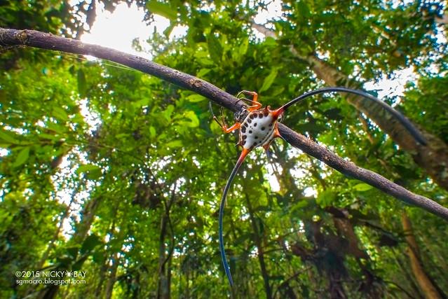 Long horned orb weaver (Macracantha arcuata) - DSC_4412