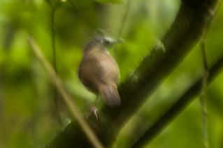 Scaly-breasted Illadopsis - Kibale - Uganda 06_4517