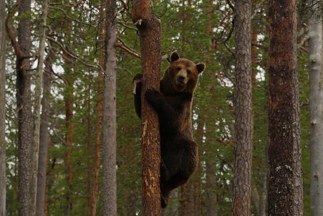 Climbing bear, Panasonic DMC-GH4, LUMIX G VARIO 100-300mm F4.0-5.6