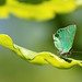 Green Hairstreak (Jim Higham)