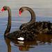 The black swan (Cygnus atratus) by Bernard Spragg