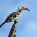 Hornbill (Eric Browett)