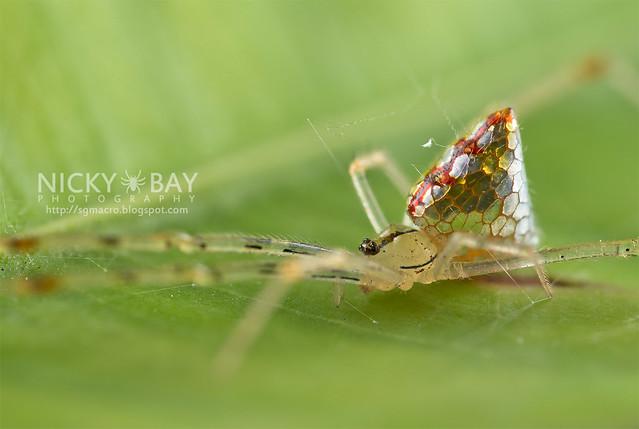 Mirror Spider (Thwaitesia sp.) - DSC_9986