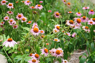iun-flowers