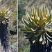 "Small photo of Espeletia hartwegiana, a Frailejon ""tree""."