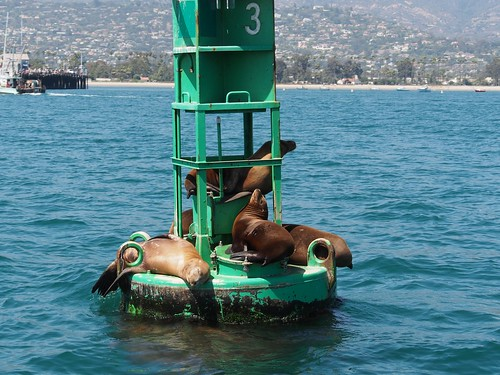 seals at Santa Barbara