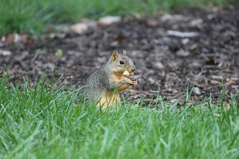 Squirrel at the University of Michigan (September 9, 2013) by cseeman