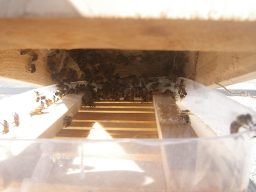 honeybees feeding in a simple top feeder