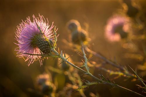 flower unitedstates tennessee thistle townsend cadescove greatsmokymountainnationalpark 1309281720