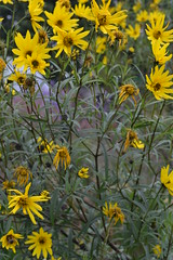 HELIANTHUS x kellermanii
