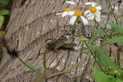 隱匿在花叢中的沙蜥。(圖片來源:東華大學楊懿如老師研究團隊)